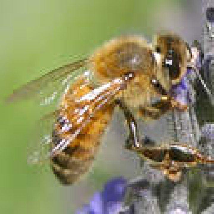 Bienenseuche in den Hamburger Bezirken Wandsbek und Hamburg-Nord