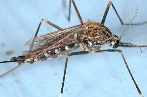 Japanische Stechmücke (Aedes japonicus) Bild CDC