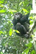 Schlangen werden von Schimpansen gefürchtet. Dieser hier hat sich auf einen Baum geflüchtet.  © R. Wittig/MPI f. evolutionäre Anthropologie