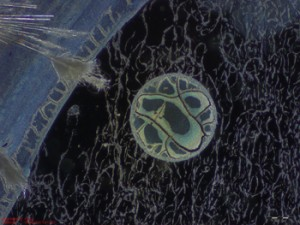 CO2 fixierender Mikroorganismus, welcher direkt aus dem Rauchgaskanal in Niederaussem isoliert und angezogen wurde