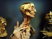Die anatomischen Präparate von Giovan Battista Rini aus dem 19. Jahrhundert Foto: EURAC