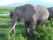 Wie Elefanten Infraschall-Töne produzieren, fand ein Team um ForscherInnen der Universität Wien heraus. (Im Bild: Afrikanische Elefanten im Amboseli National Park in Kenia) Foto: Department für Kognitionsbiologie, Universität Wien