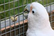Der Kakadu Figaro baut sich sein Werkzeug selbst, um an die Nuss zu gelangen. Foto: Alice Auersperg