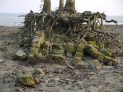 Eine Mangrove auf den Mauerrresten eines Salzsiedeofens. 2007 verwüstete der Zyklon Sidr den Küstens ... Foto: T. Hanebuth, MARUM